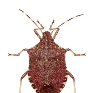 Stink Bug Pain Spreads to 32 Countries for 2019-20